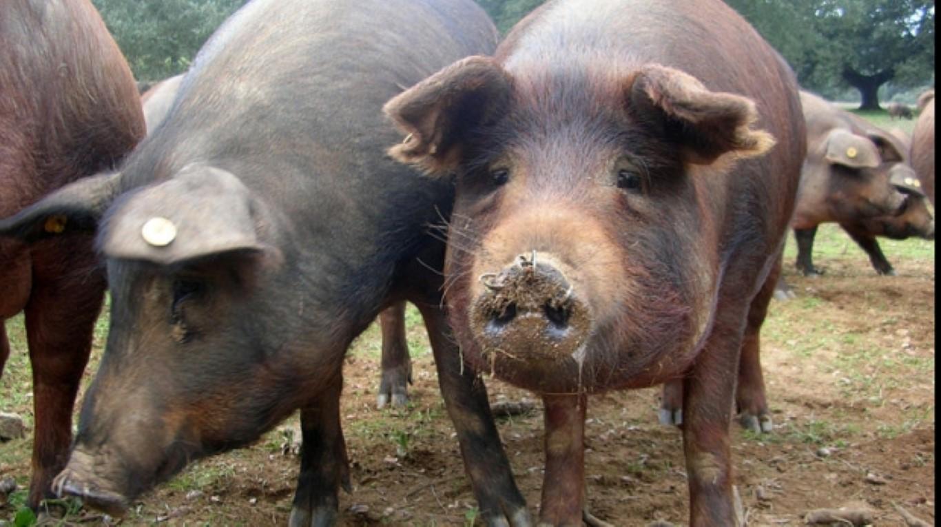 virusul pestei porcine