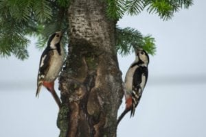ciocanitori