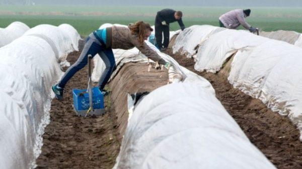 """Români de la o fermă de sparanghel din Germania: """"Am fost vânduți, Guvernul și-a dat străduința să plecăm"""" AUDIO"""