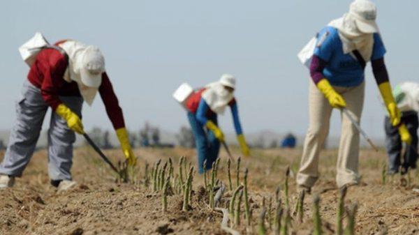 Germania: Muncitorii plecați la cules sparanghel se tem că vor muri pe capete