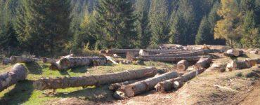 Au reînceput defrișările ilegale din Măguri-Răcătău, jud. Cluj VIDEO