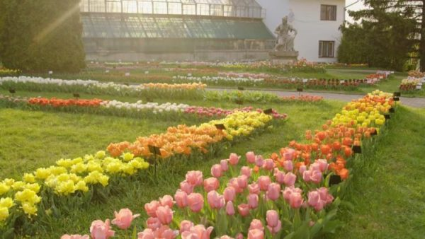 S-a deschis sezonul lalelelor. Feerie în Grădina Botanică din Cluj VIDEO